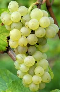 pinot blanc raisin