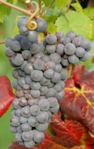 pinot noir raisin